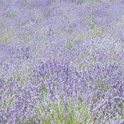 FARFALLA Lavendel fein Grand Cru, 50ml