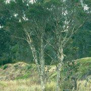 FARFALLA Teebaum bio Wildsammlung, 50ml