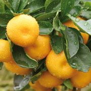 FARFALLA Mandarine rot demeter, 50ml